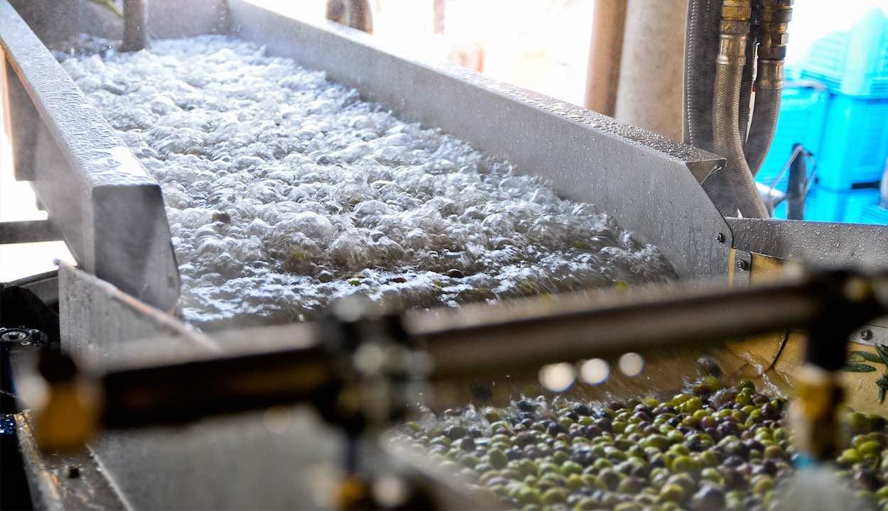 Lavage des olives avant l'extraction de l'huile
